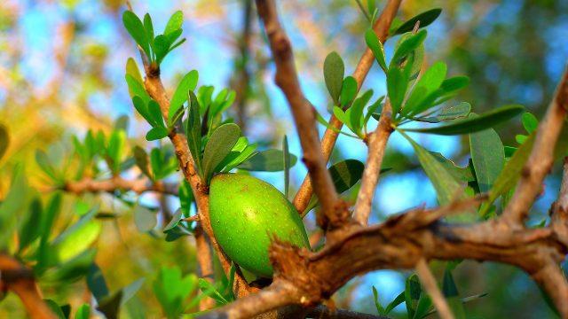 Fruto árbol del argán.