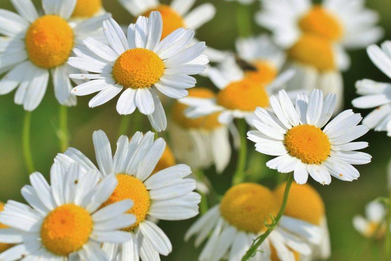 Flor de manzanilla.