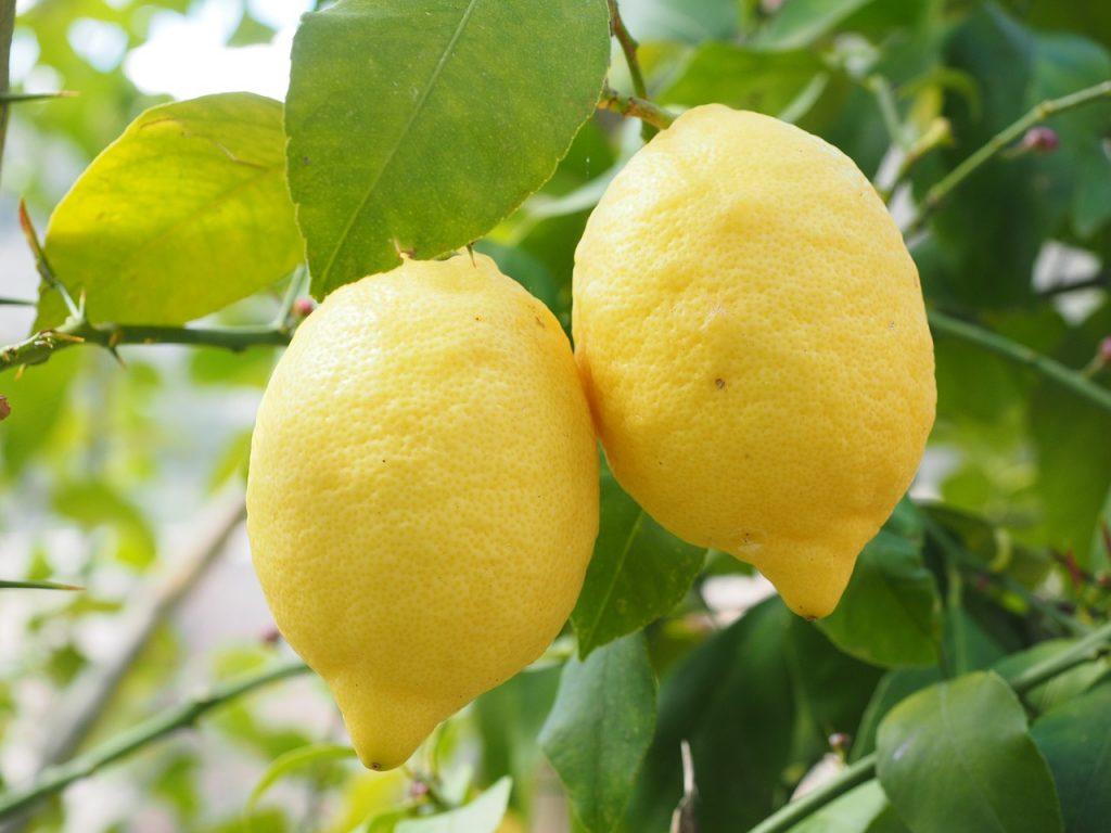 Dos limones en un limonero.