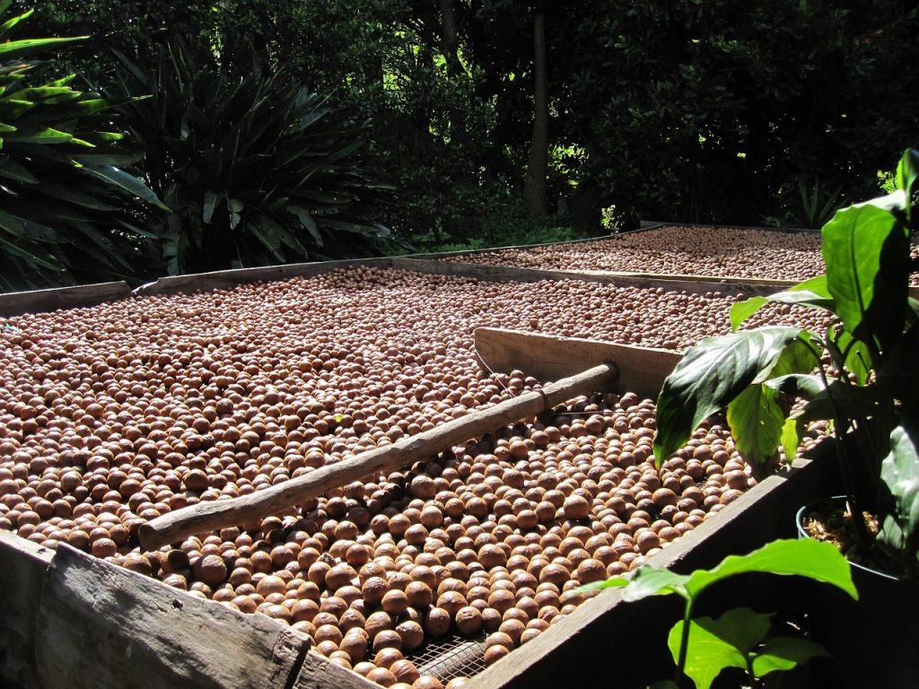 Grandes cantidades de nueces de macadamia para hacer aceite de nuez de macadamina.