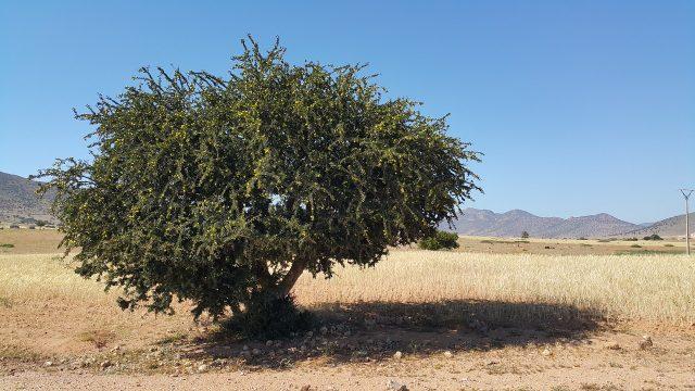 Árbol del aceite de argán en Marruecos.