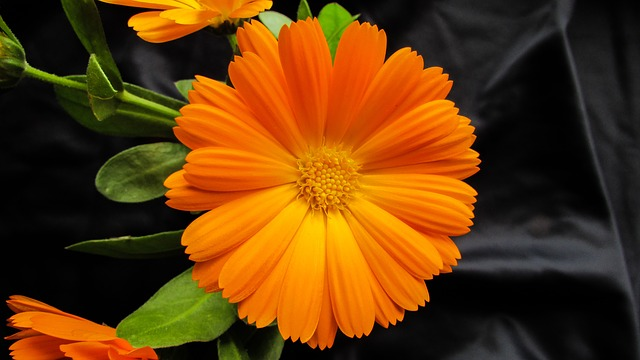 La caléndula produce una gran cantidad de flores.