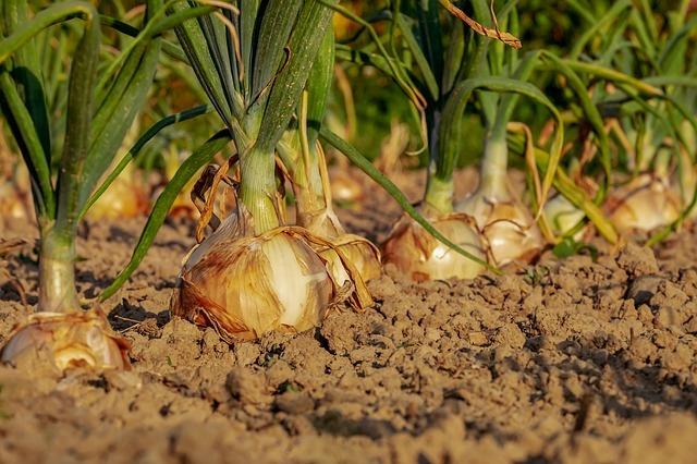 El aceite de neem es un excelente insecticida para nuestro huerto.