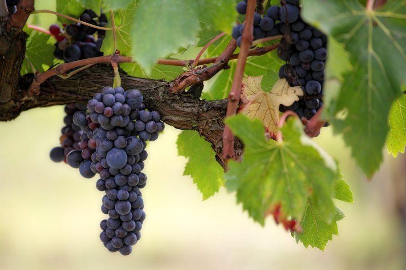 Aceite de semilla de uva.