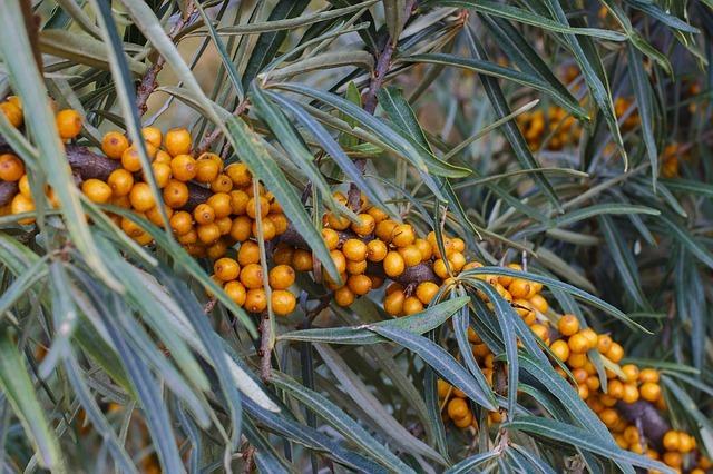 Propiedades del aceite de espino amarillo.