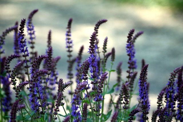 Beneficios de la salvia
