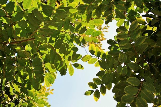 propiedades y beneficios del algarrobo