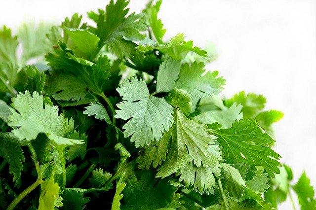 donde comprar, usos contraindicaciones coriandro o cilantro