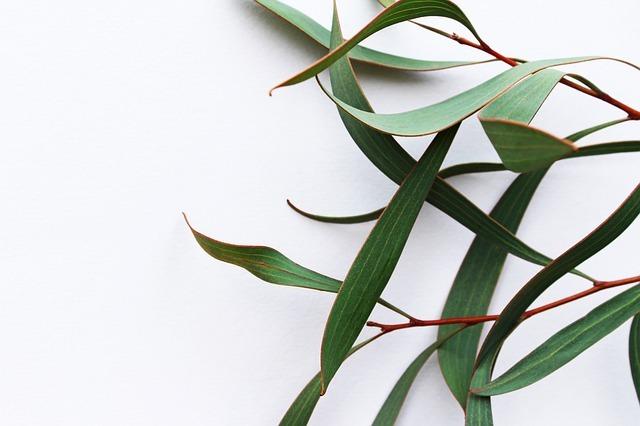 hojas de eucalipto remedio enfermedades respiratorias