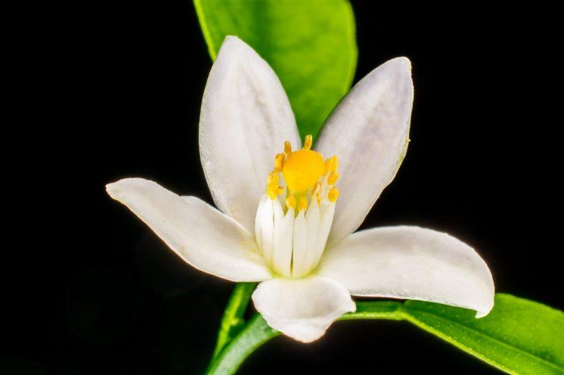 aceite esencial de neroli o flor de azahar