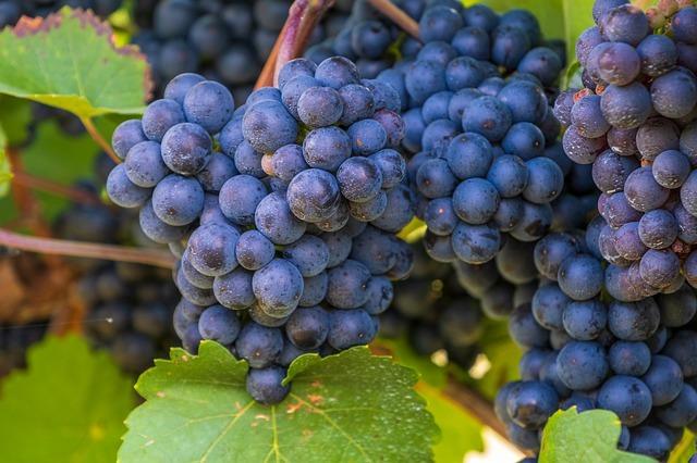 propiedades, usos aceite de semilla de uva para pieles mixtas