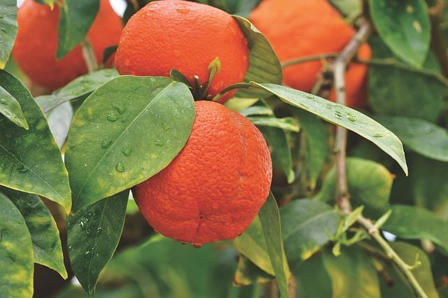 propiedades, composicion, contraindiciones del aceite esencial del naranjo amargo