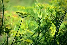 anis verde