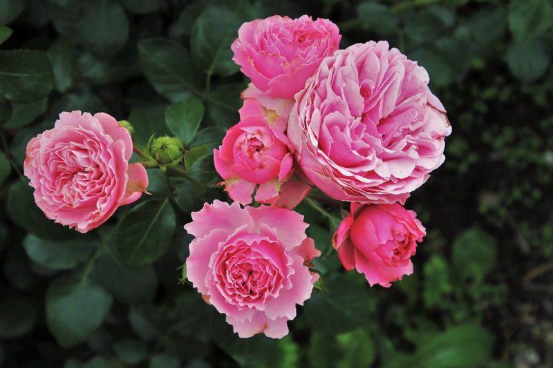 aceite esencial rosa damascena