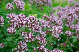 Orégano planta medicinal vegetal